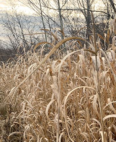 a group of tall grass